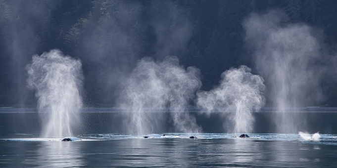 """Synchronized Swimming"" - One of the most amazing moment in nature that I have ever witnessed! Four humpback whales swim along the shore off the coast of Gustavus, Alaska when suddeny they surface and exhale through their blowholes at the same moment, creating this magical image."
