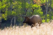 A Bull Elk in Rocky Mountain National Park walks through a field of golden wheat and fall greens and oranges illuminated in the trees in the background.