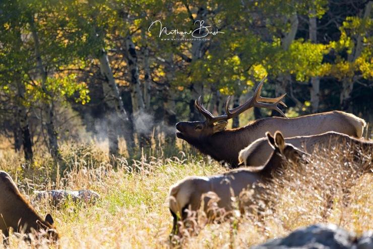 Bull Elk Bugeling in Rocky Mountain National Park
