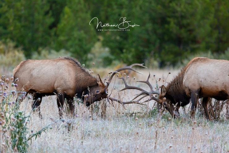 Bull Elk Rut Fight